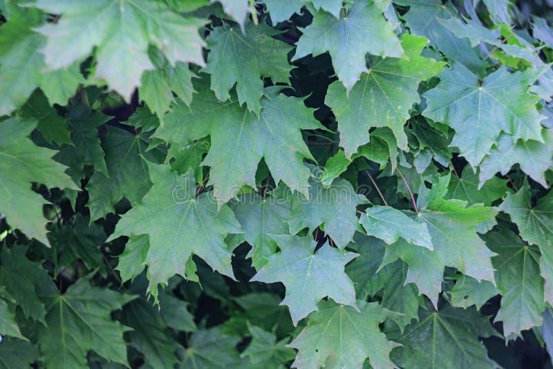 Fondo natural de hojas de arce verdes cerca para arriba, fondo fotografía de archivo