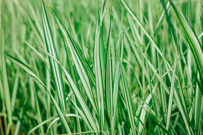 Fondo natural de la textura exótica verde y blanca de la hierba imagen de archivo