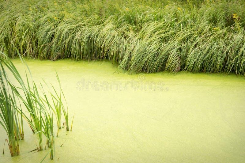 Fondo natural de overgrown con la charca de la lenteja de agua franjada con fotografía de archivo libre de regalías