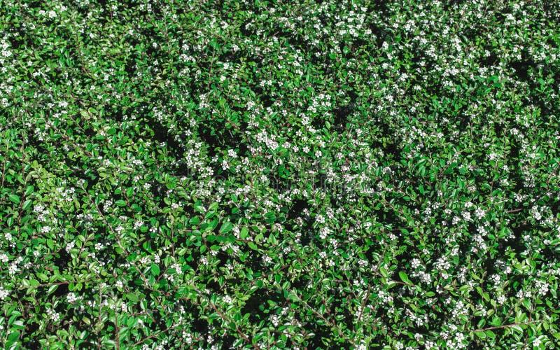 Fondo natural del eco de hojas verdes y de flores blancas imagen de archivo libre de regalías