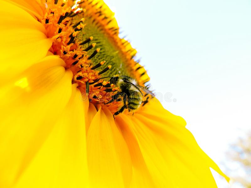 Fondo natural del girasol Floraci?n del girasol Primer del girasol Girasoles en Francia Visi?n superior foto de archivo libre de regalías