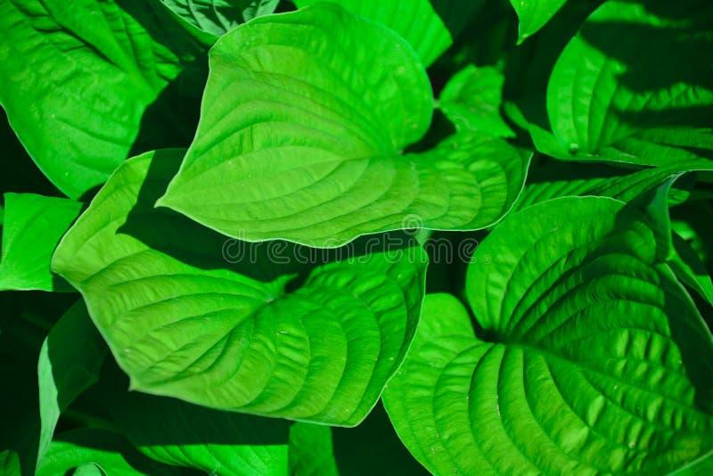 Fondo natural del hosta hermoso Khosta - una planta ornamental para el diseño del paisaje del parque y del jardín Verde enorme gr foto de archivo libre de regalías