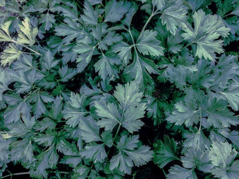 Fondo natural del perejil verde de las hojas de las plantas de jardín fotos de archivo