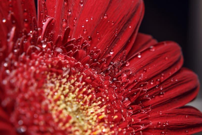 Fondo natural Detalles de la fotografía macra de Gerber de la flor roja Vista macra de la textura abstracta de la naturaleza foto de archivo libre de regalías