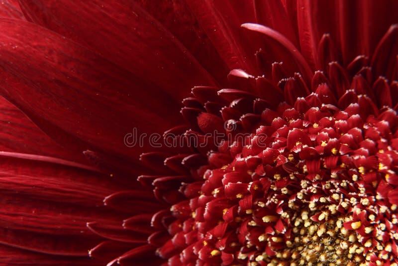 Fondo natural Detalles de la fotografía macra de Gerber de la flor roja Vista macra de la textura y del fondo abstractos p orgáni foto de archivo