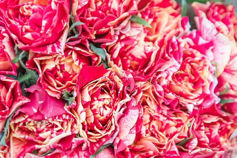 Fondo natural hermoso de las rosas del rojo y del melocotón foto de archivo libre de regalías