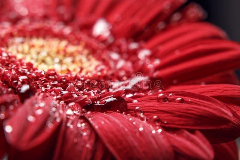Fondo natural hermoso E Descensos hermosos grandes del agua en la flor roja fresca de Gerber en fondo oscuro fotos de archivo