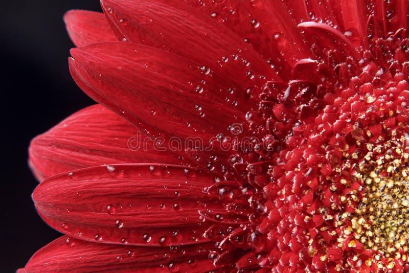 Fondo natural hermoso E Descensos hermosos grandes del agua en la flor roja fresca de Gerber en fondo oscuro imágenes de archivo libres de regalías