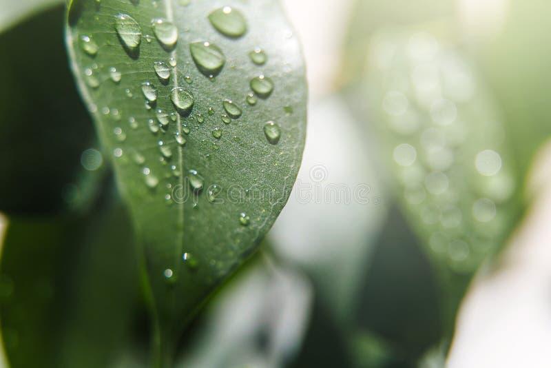 Fondo natural hermoso E Descensos hermosos grandes del agua en las hojas frescas en los rayos apacibles del su caliente fotografía de archivo