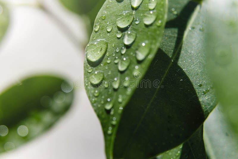 Fondo natural hermoso E Descensos hermosos grandes del agua en las hojas frescas en los rayos apacibles del su caliente imagen de archivo libre de regalías