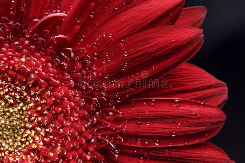 Fondo natural hermoso E Extracto de una macro roja de la margarita de Gerber con las gotitas de agua en los pétalos imagen de archivo libre de regalías