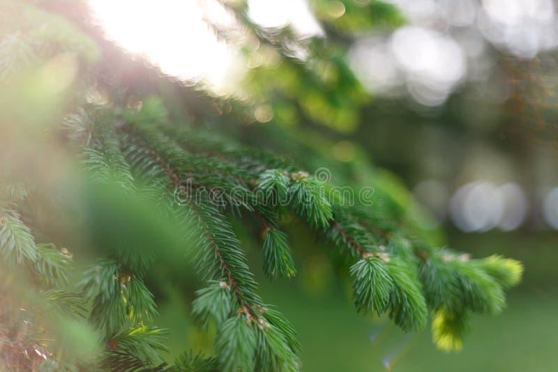 Fondo natural hermoso E Ramas mullidas frescas del abeto en los rayos apacibles del sol caliente fotografía de archivo libre de regalías