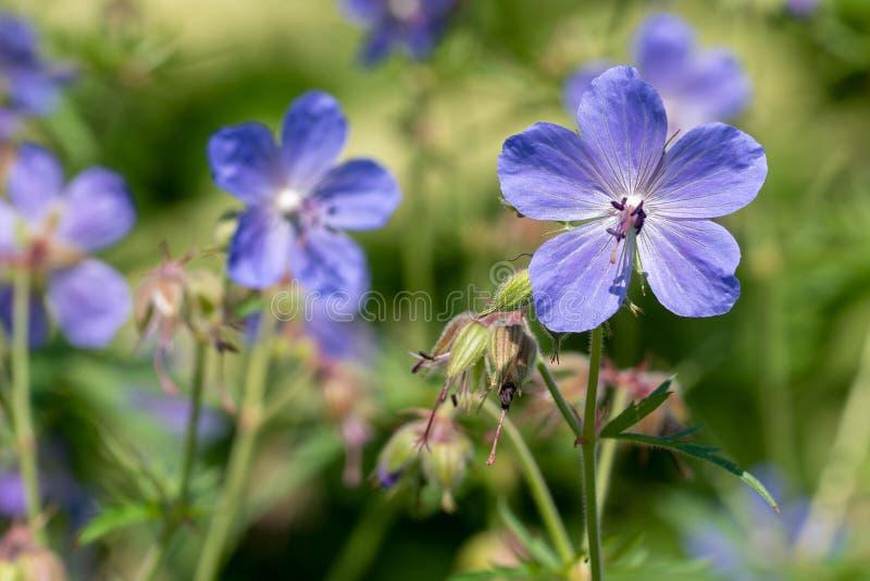Fondo natural Imagen de las flores de la viola en foco suave fotografía de archivo libre de regalías