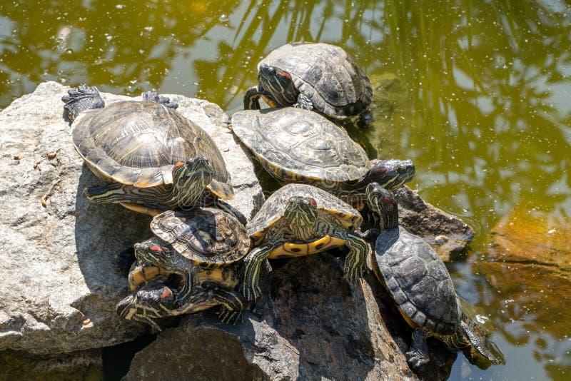 Fondo natural Imagen de las tortugas que toman el sol en la piedra en la charca fotografía de archivo libre de regalías