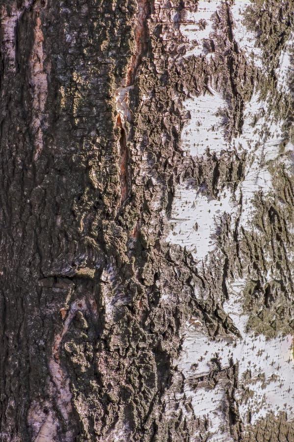 Fondo natural - la textura vertical de un primer real de la corteza de abedul en primavera imagen de archivo libre de regalías