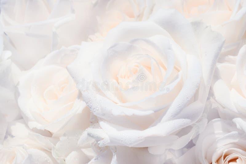Fondo natural, ramo con las rosas blancas con descensos de rocío, primer, foco selectivo imagen de archivo