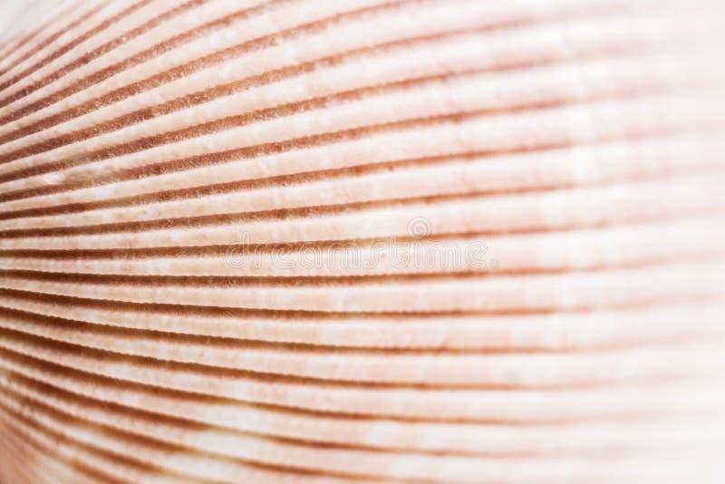 Fondo natural Superficie de la textura de la concha marina con stri del alivio fotos de archivo