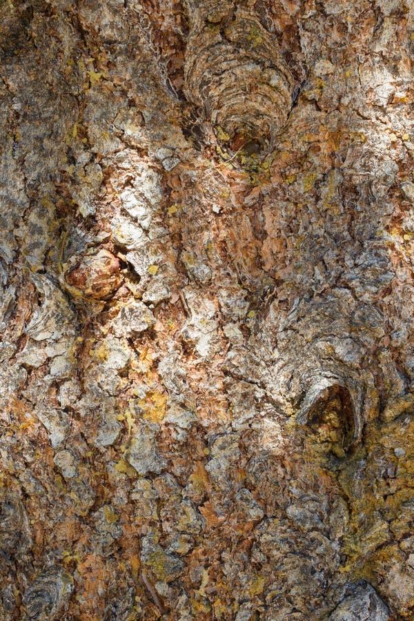 Fondo natural Textura, abeto y x28 de la corteza de árbol; Picea Abies& x29; imagen de archivo libre de regalías