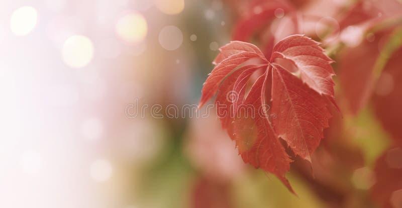 Fondo naturale con le foglie rosse, paesaggio di caduta, insegna del bokeh di autunno con il posto per testo immagine stock