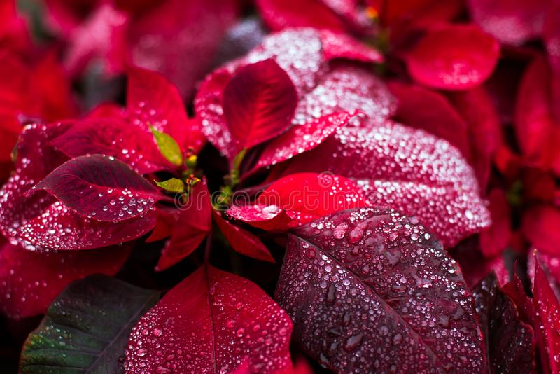 Fondo naturale della natura, fiore di natale della stella di Natale immagini stock libere da diritti