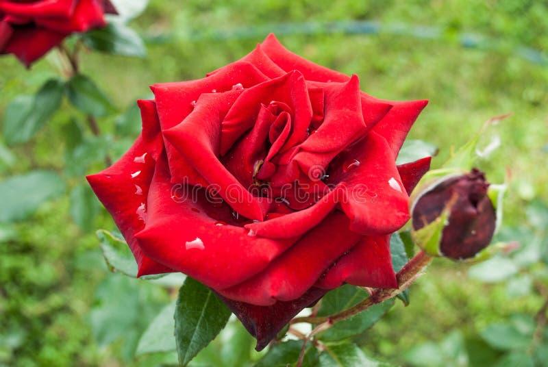 Fondo naturale delle rose rosse/ immagini stock libere da diritti