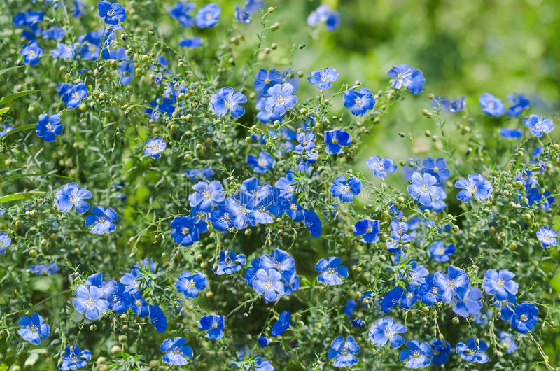 Fondo naturale di estate con i fiori blu fotografia stock