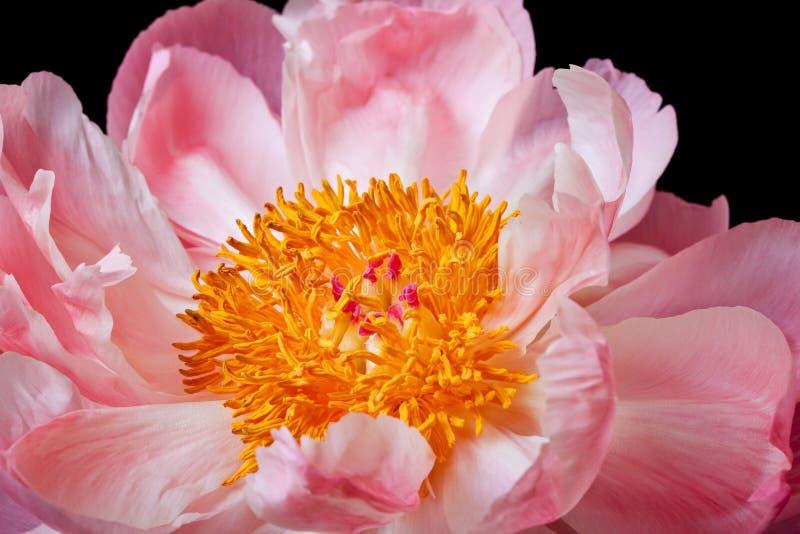 Fondo negro aislado flor rosada de la peonía imagen de archivo