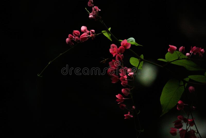 Fondo negro con las flores rosadas fotografía de archivo