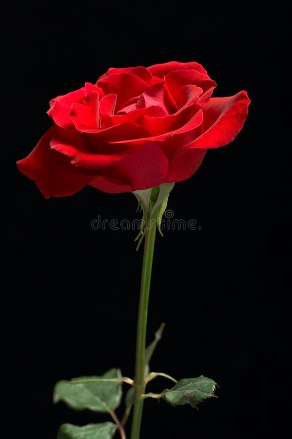Fondo negro rojo de Rose fotografía de archivo libre de regalías