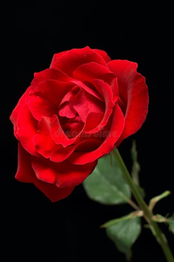 Fondo negro rojo de Rose imágenes de archivo libres de regalías