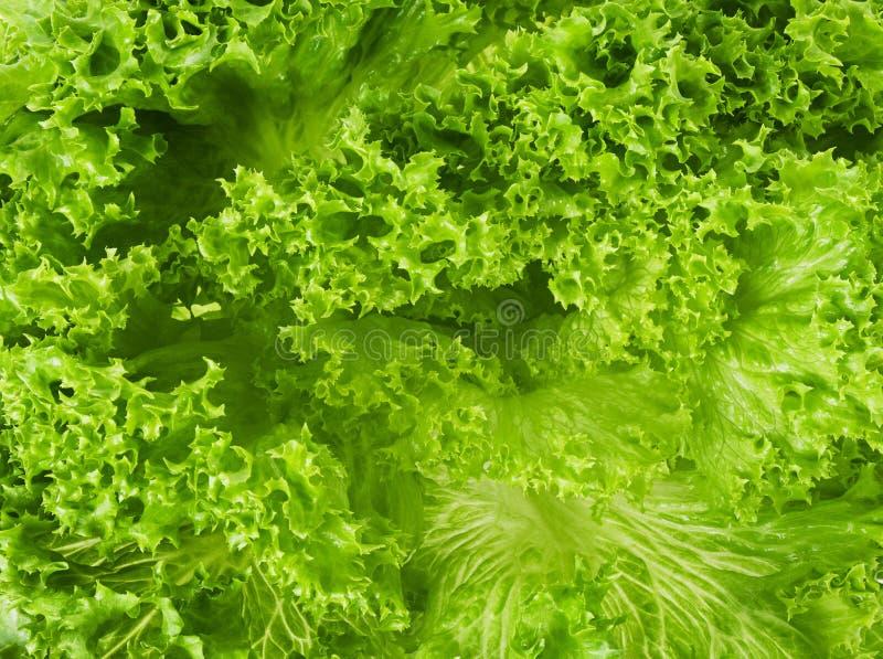 Fondo o struttura fresco del primo piano dell'insalata di verde della foglia della lattuga fotografia stock