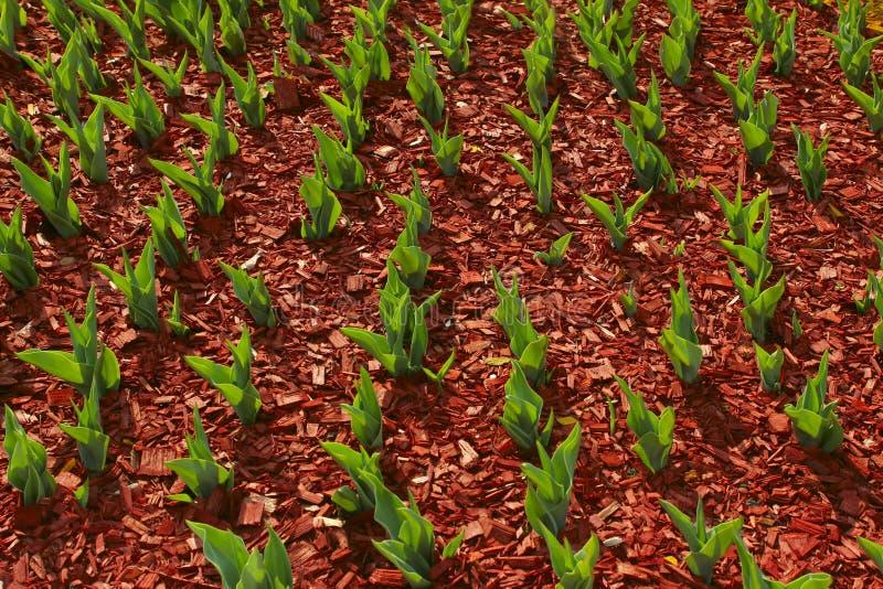 Fondo org?nico de la ecolog?a Un jard?n de todas las estaciones Hojas verdes de los tulipanes que crecen en s?lido imágenes de archivo libres de regalías