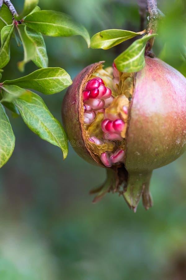 Fondo otoñal hermoso Sola ejecución agrietada de maduración de la fruta de la granada en rama de árbol en jardín Luz del sol de o fotografía de archivo