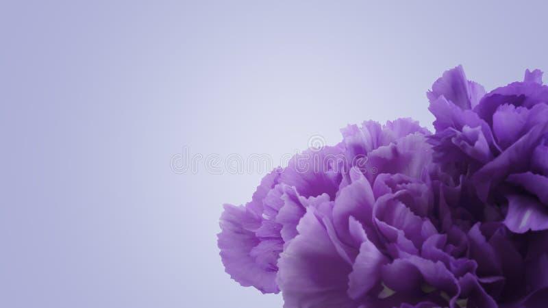 Fondo púrpura de la flor del clavel de la violeta macra abstracta hermosa foto de archivo libre de regalías