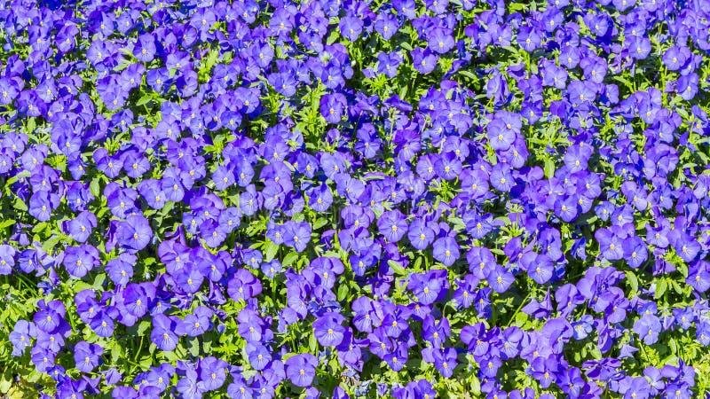 Fondo púrpura de las flores de las violas de los pensamientos imagenes de archivo
