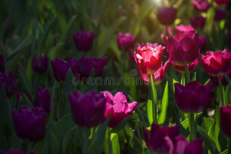 Fondo púrpura hermoso floreciente de jardín de flores de los tulipanes de la primavera con efecto luminoso de la llamarada de la  imágenes de archivo libres de regalías