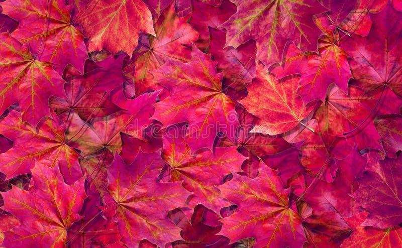fondo p?rpura natural Fondo caido de la textura de las hojas de arce del oto?o Visi?n superior foto de archivo libre de regalías