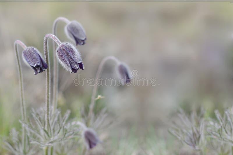 Fondo per una cartolina d'auguri con un fiore della molla del Pulsatilla vulgaris fotografia stock