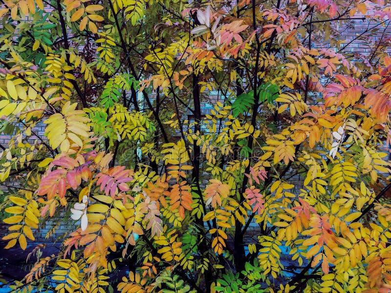 Fondo pintoresco colorido de las hojas de los árboles de serbal del parque del otoño imagen de archivo libre de regalías
