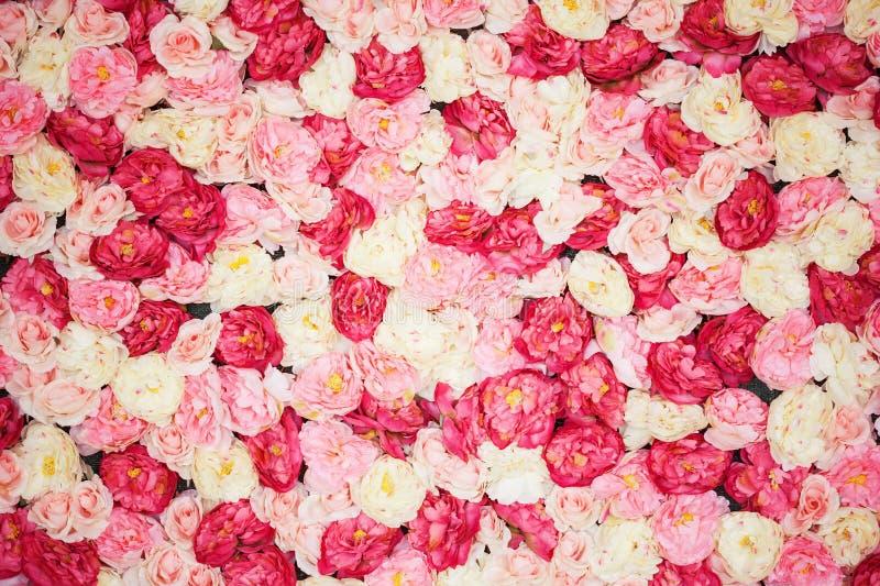 Fondo por completo de las peonías blancas y rosadas fotografía de archivo