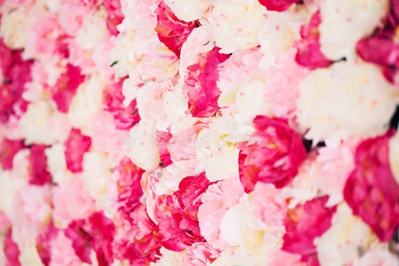 Fondo por completo de las peonías blancas y rosadas imagen de archivo