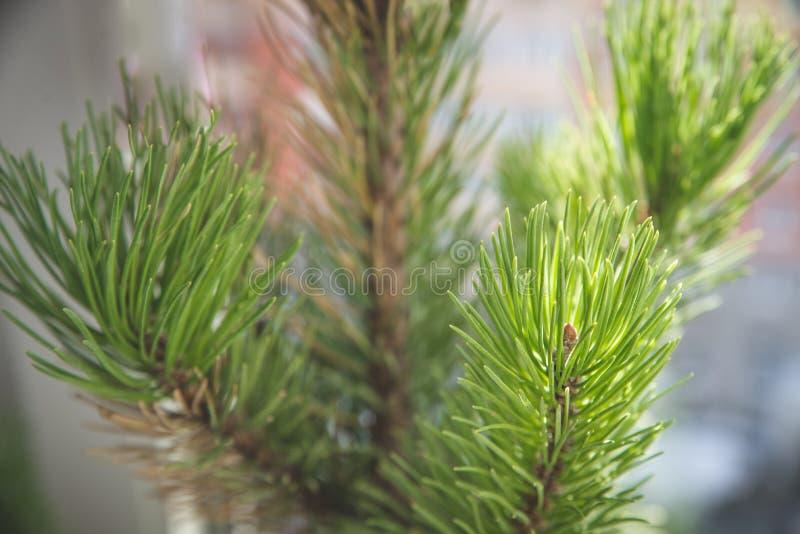 Fondo ramas de un árbol peludas de la textura para una tarjeta de Navidad foto de archivo libre de regalías