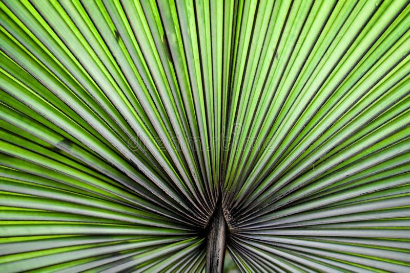 Fondo rizado abstracto de la planta de la palma de fan imágenes de archivo libres de regalías