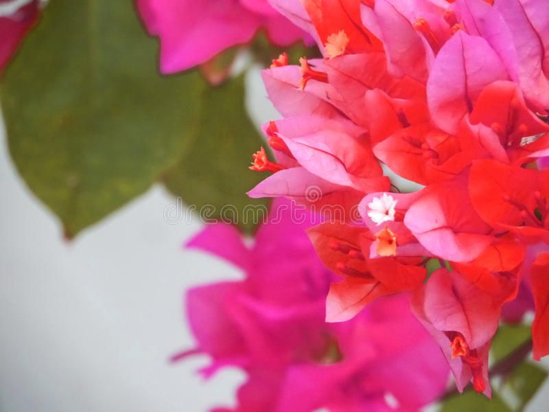 Fondo rojo de la falta de definición de la flor del árbol de la buganvilla fotografía de archivo libre de regalías