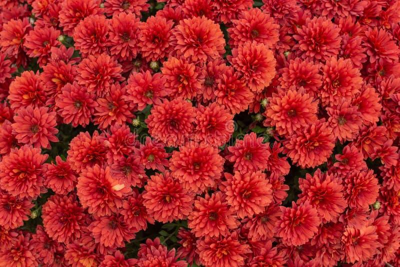 fondo rojo de la flor del crisantemo fotos de archivo