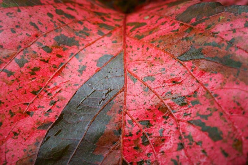 Fondo rojo de la textura de la hoja foto de archivo