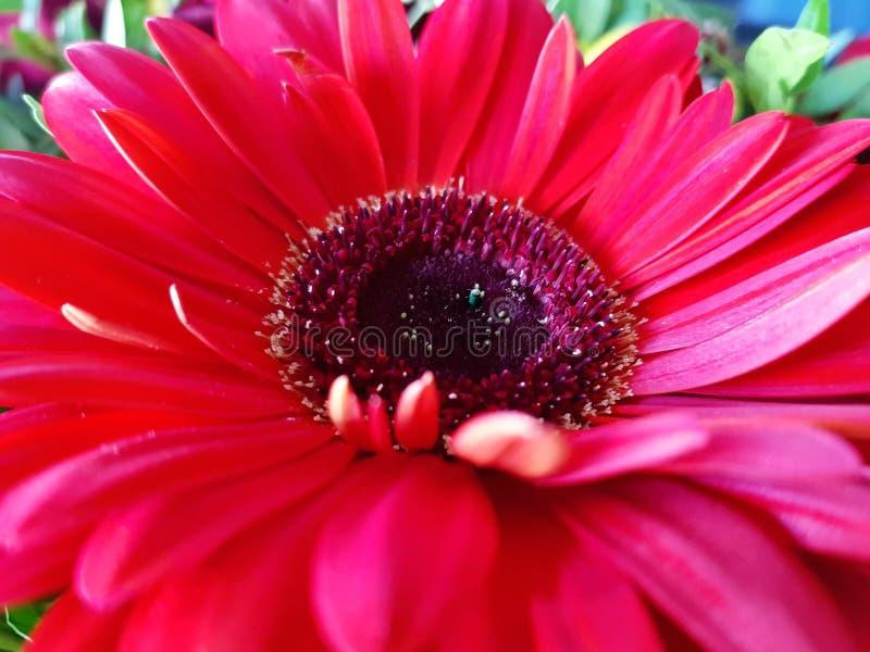 Fondo rojo de opinión del primer de la flor del gerbera foto de archivo libre de regalías