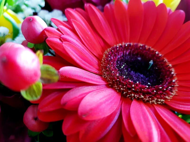 Fondo rojo de opinión del primer de la flor del gerbera fotografía de archivo libre de regalías