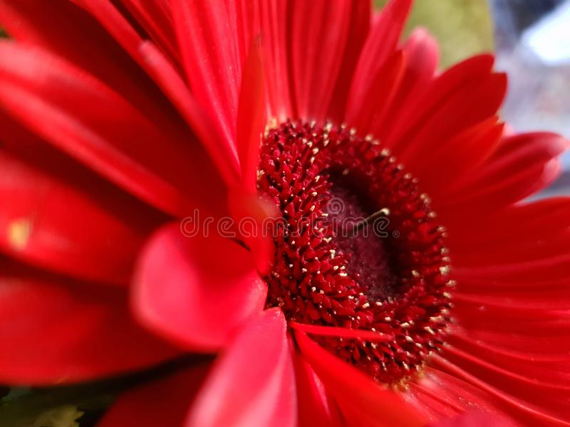 Fondo rojo de opinión del primer de la flor del gerbera fotografía de archivo
