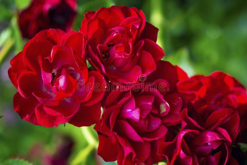 Fondo rojo de pétalos color de rosa imagen de archivo